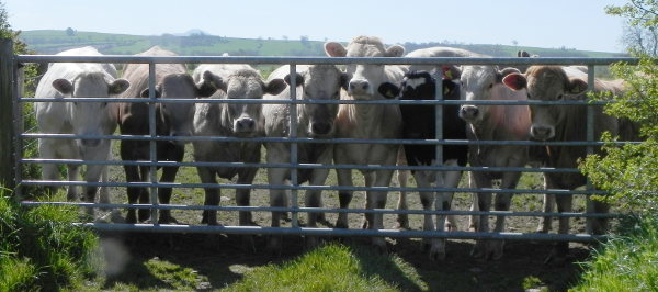 Cows At Gate