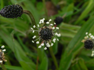 Plantain or Ribwort