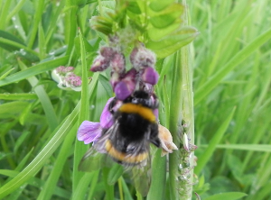 Vetch With Bee
