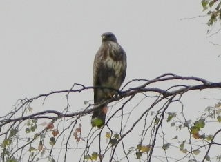 Buzzard Perched