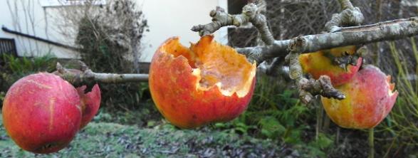 Apples. Yummy!