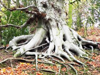 Beech Tree - been through hard times