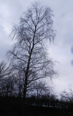 Birch Tree In Winter