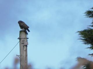 Buzzard Disguised As A Telegraph Pole