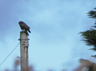 Buzzard Disguised As A Telegraph Pole