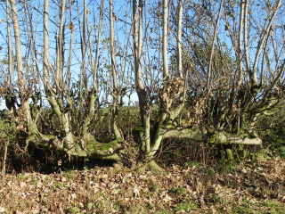 Tree In The Hedge
