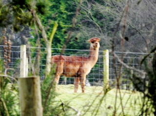 Alpaca in the distance