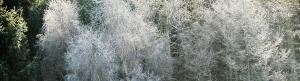 Frosty Filigree