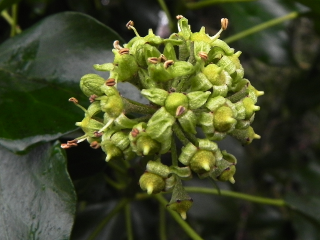 Ivy Flowers - Soon To Be Berries