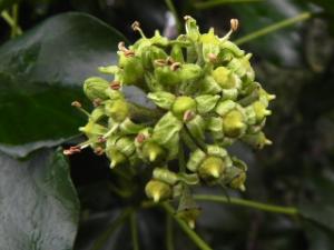 Ivy Flowers - Soon To Be Berries