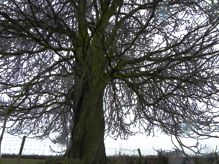 Sycamore Tree-Not Much Shelter Here