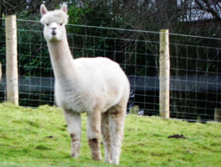 Alpaca - He called out Happy New Year as we passed