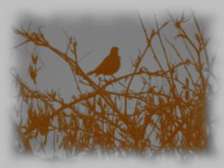 Blackbird-  Old Photograph effect