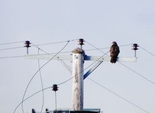 Buzzard On Electric Pole