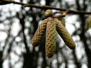 Catkins And Buds