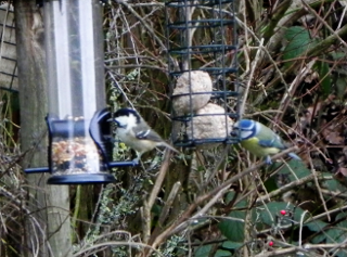 Coal Tit And Blue Tit