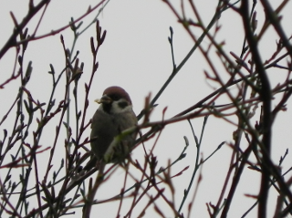 Goldfinch?