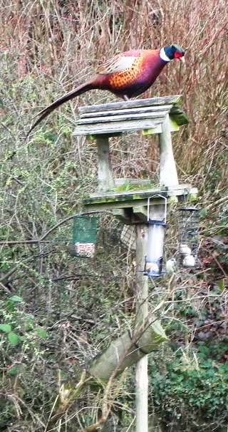 Pheasant On The Bird Table