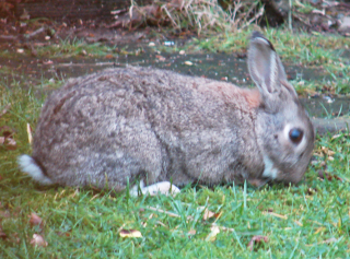 Our Rabbit Visitor