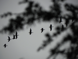 Geese Heading North