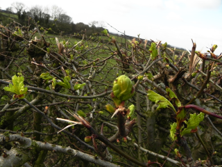 Hawthorn Coming Into Leaf Early