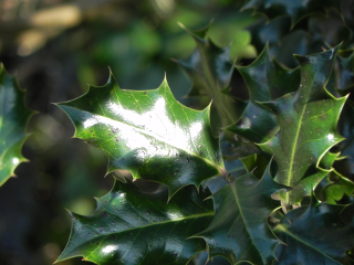 Sunlight On Holly Leaves