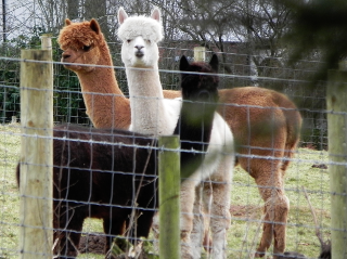 Three Wise Alpacas