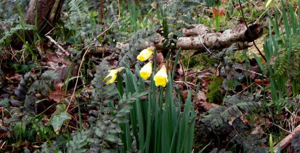 Daffodils In The Wood