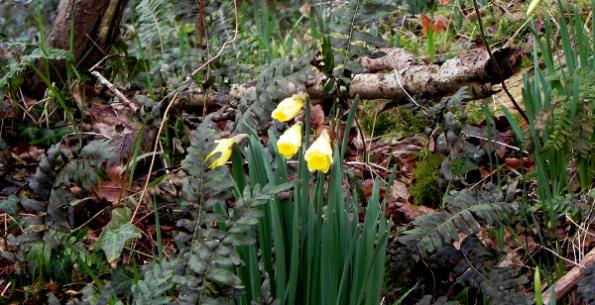 Daffodils In The Wood