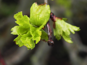 Hawthorn Leaves - Springing into action
