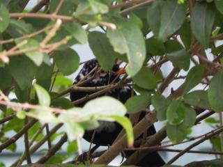 Pied Blackbird