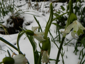 Snowdrops - Gone To Seed