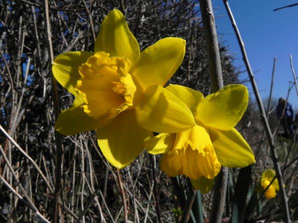 Two Daffodils