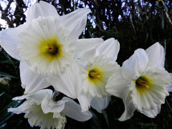 Not A Daffodil