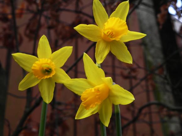 Roadside Daffodils