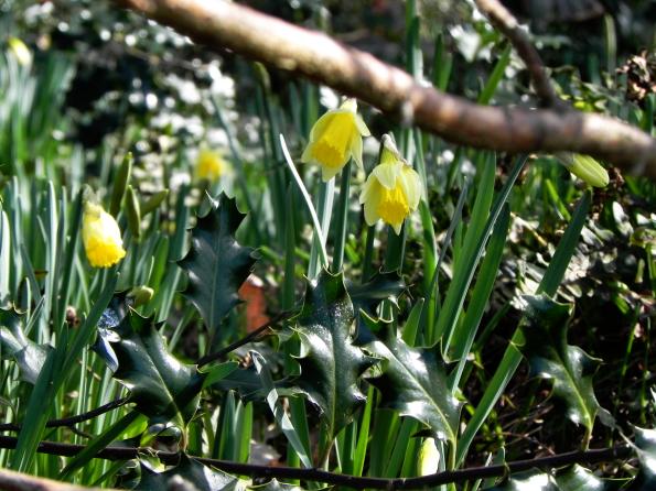 Woodland Daffodils