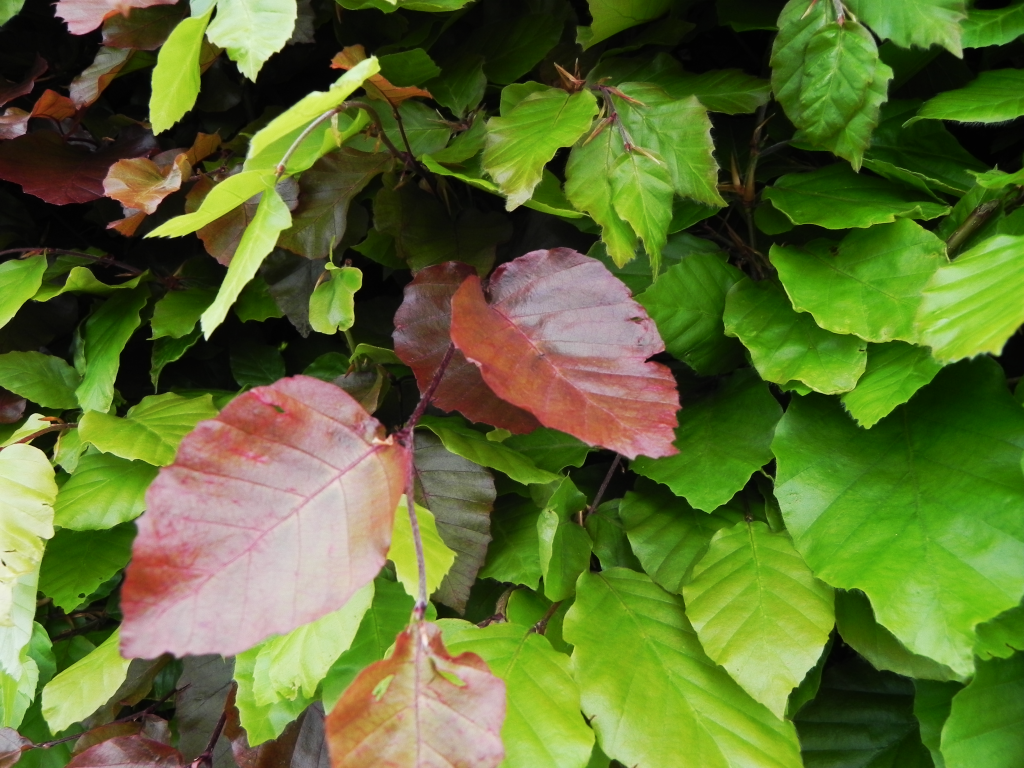 Beech Leaves Mixed