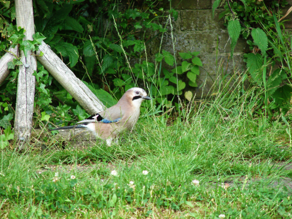 Jay in the garden