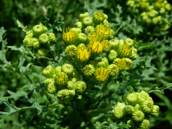 Tansy - good for gout