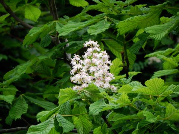 White Chestnut Blossom