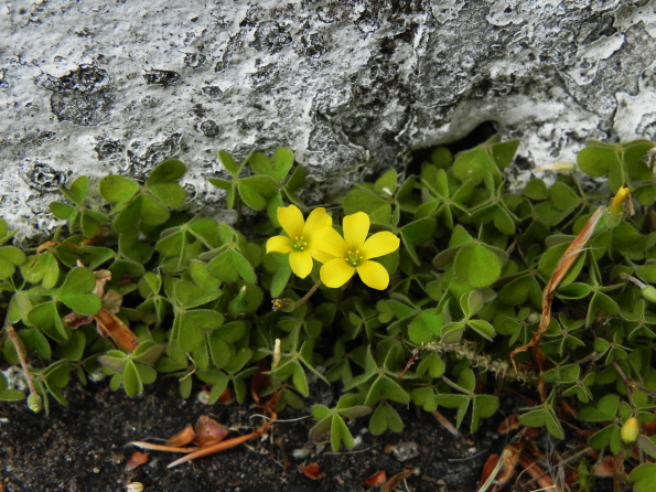 Creeping Yellow Wood Sorrel
