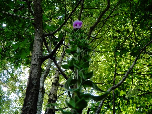 Foxglove Gone To Seed