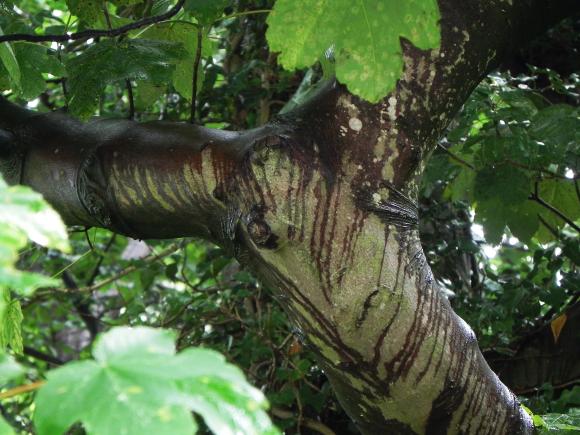 Tree, Caught In The Rain