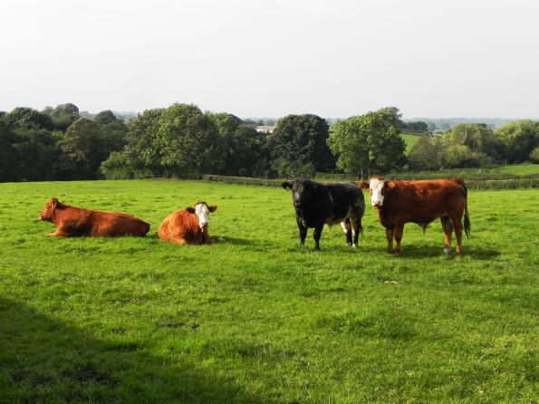 The Corner Cows