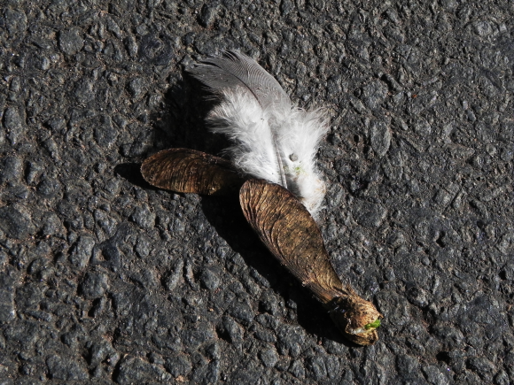 Helicopter Seed and Feather