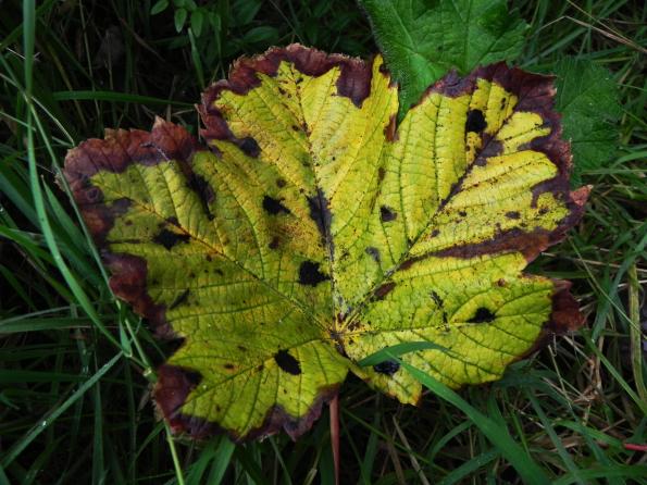 Tar Spot On Sycamore Leaf