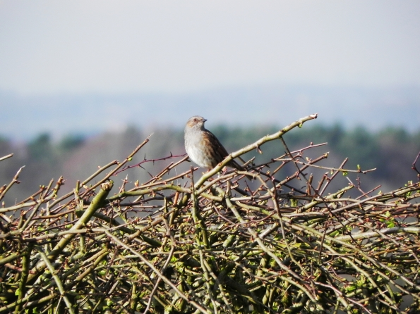 Dunnock - Singing - It Must Be Spring