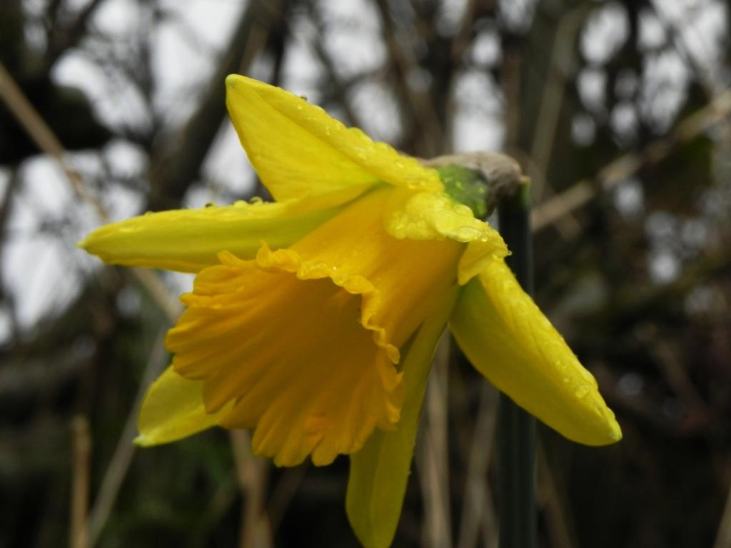 First Daffodil In Flower