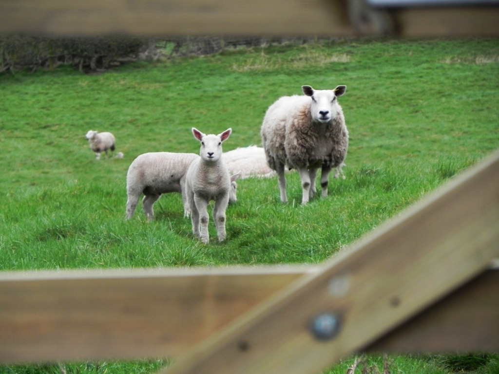First Lambs This Year