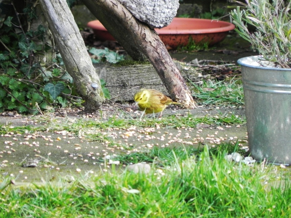 Yellowhammer at the bird feeder